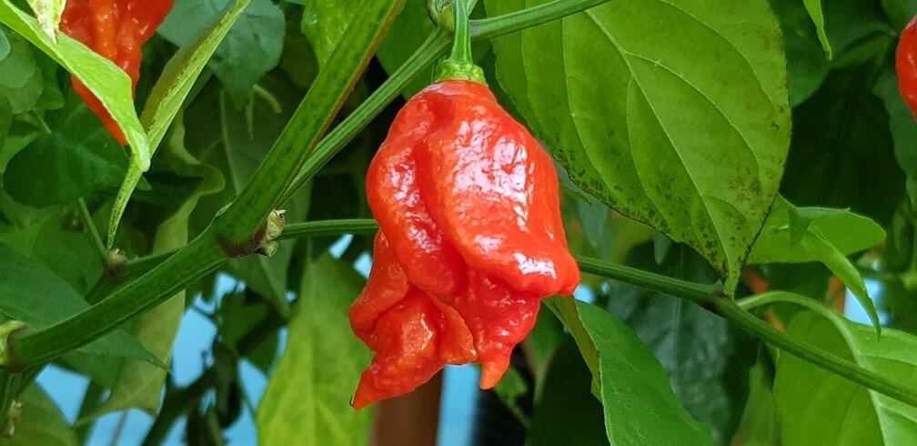 2019.10.17. Chili paprika